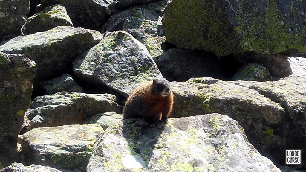 Uma das marmotas que encontramos dentro do Death Canyon