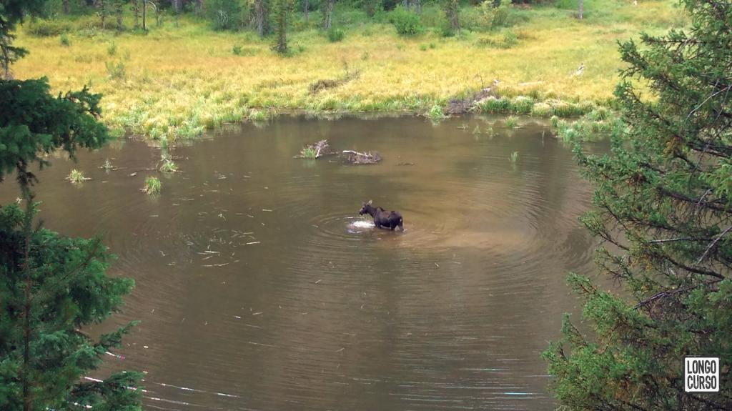 Alce se alimenta no Moose Pond, próximo ao Jenny Lake
